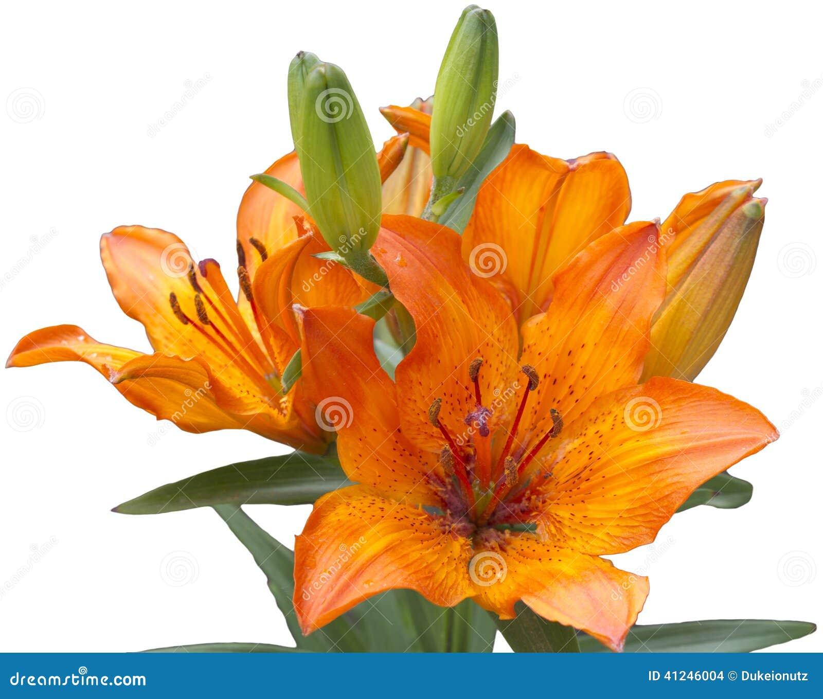 Orange lilly on white background stock photo image of macro buds royalty free stock photo izmirmasajfo Image collections
