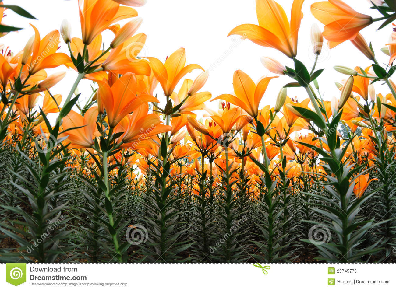 Orange Lily Flower Stock Photos Image 26745773