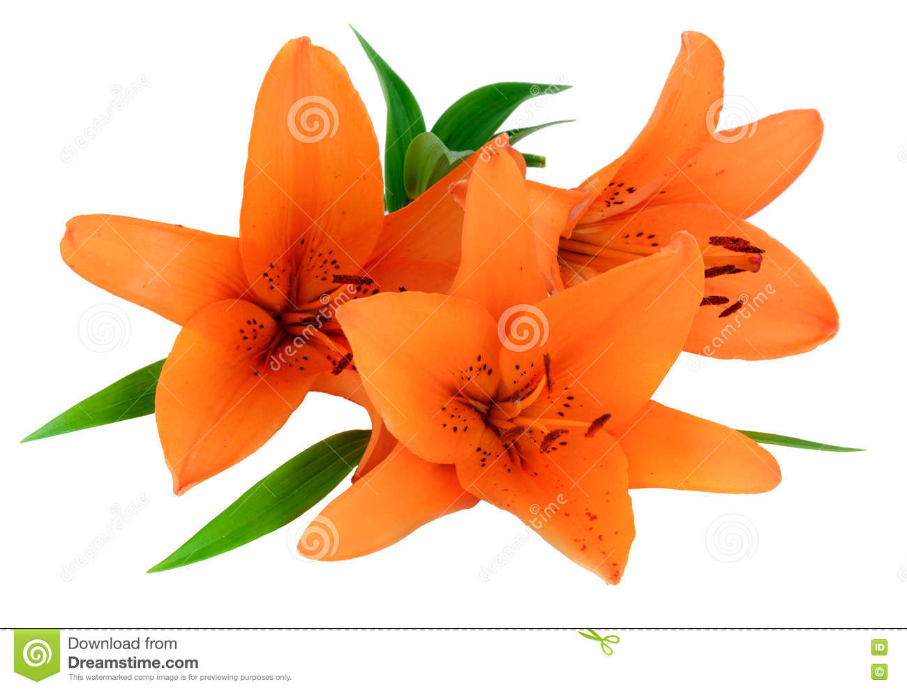 Orange lily flower isolated on white background stock photo image download orange lily flower isolated on white background stock photo image of bloom botany izmirmasajfo