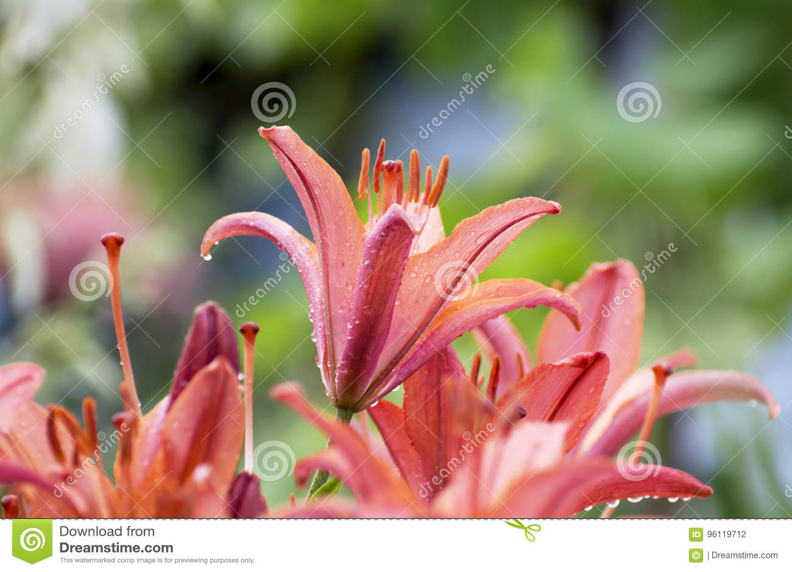 Orange lily flowers on blurred background stock photo image of orange lily flowers on blurred background izmirmasajfo