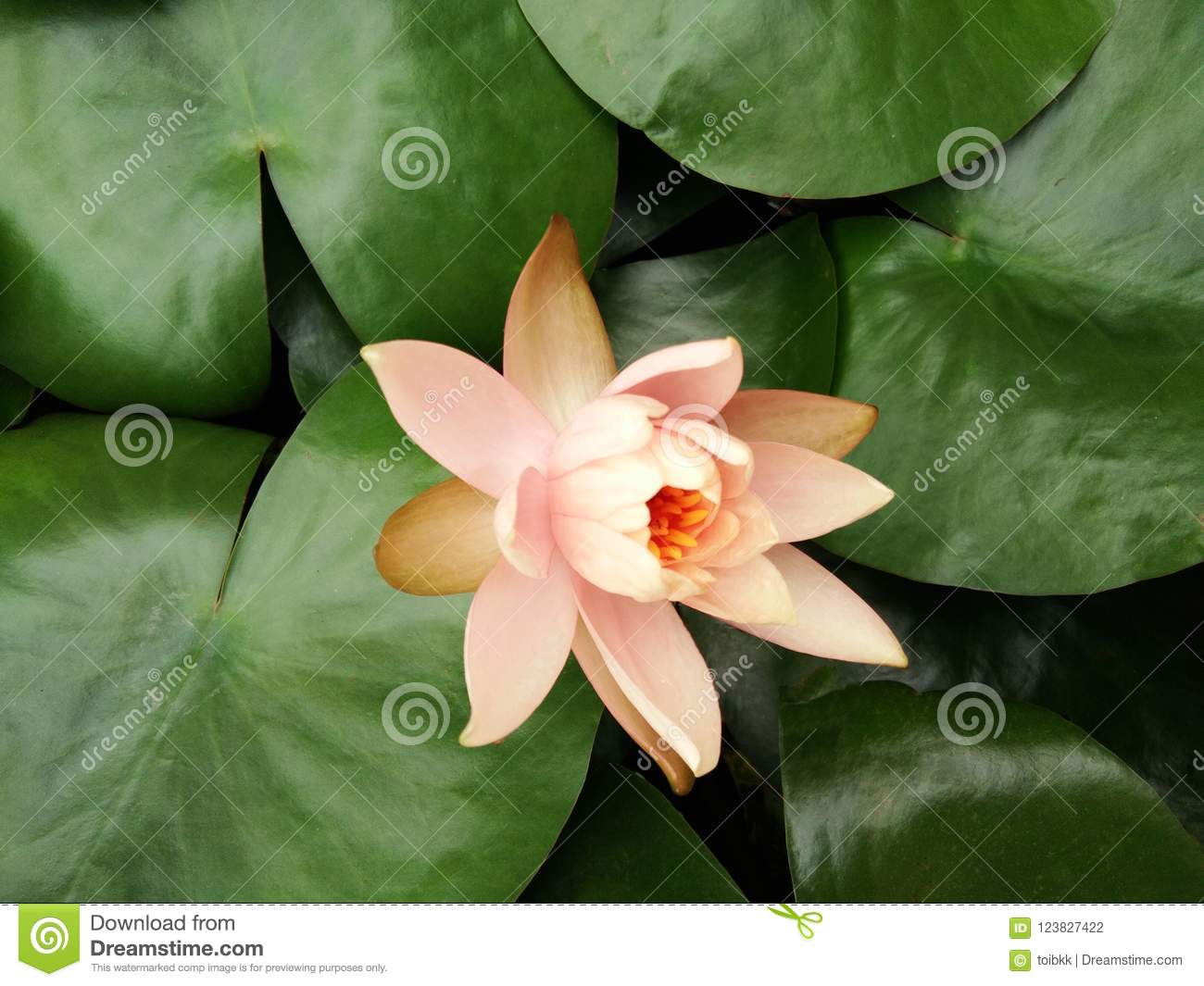 Orange Lotus Flower Or Water Lily On Green Leaves Background Stock