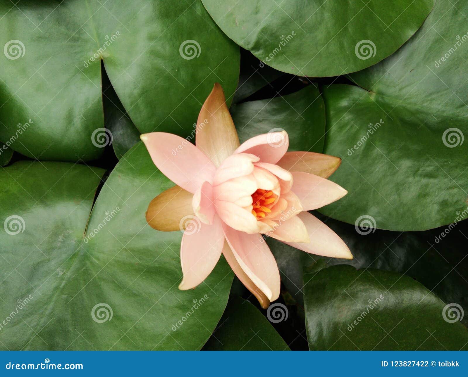 Orange lotus flower or water lily on green leaves background stock orange lotus flower or water lily on green leaves background izmirmasajfo