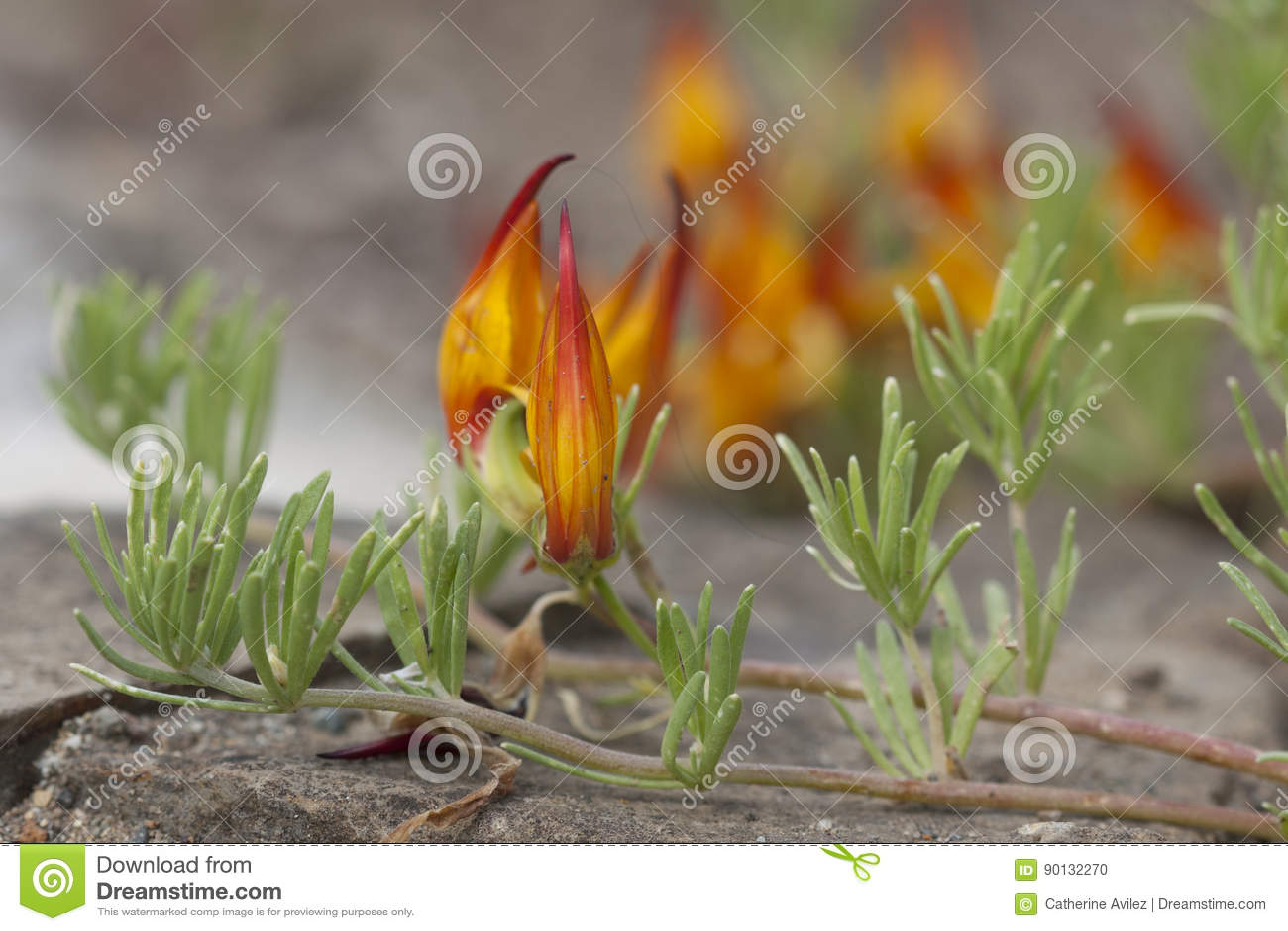Orange lotus plant bloom stock photo image of flower 90132270 orange lotus plant bloom izmirmasajfo