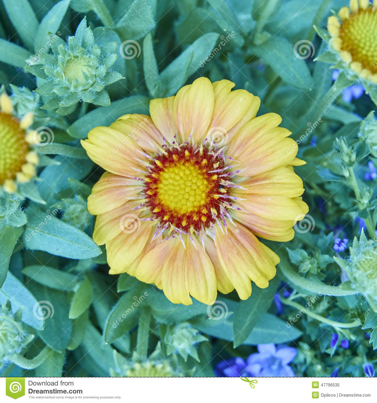 Orange Margarita Daisy Flower Closeup Stock Image