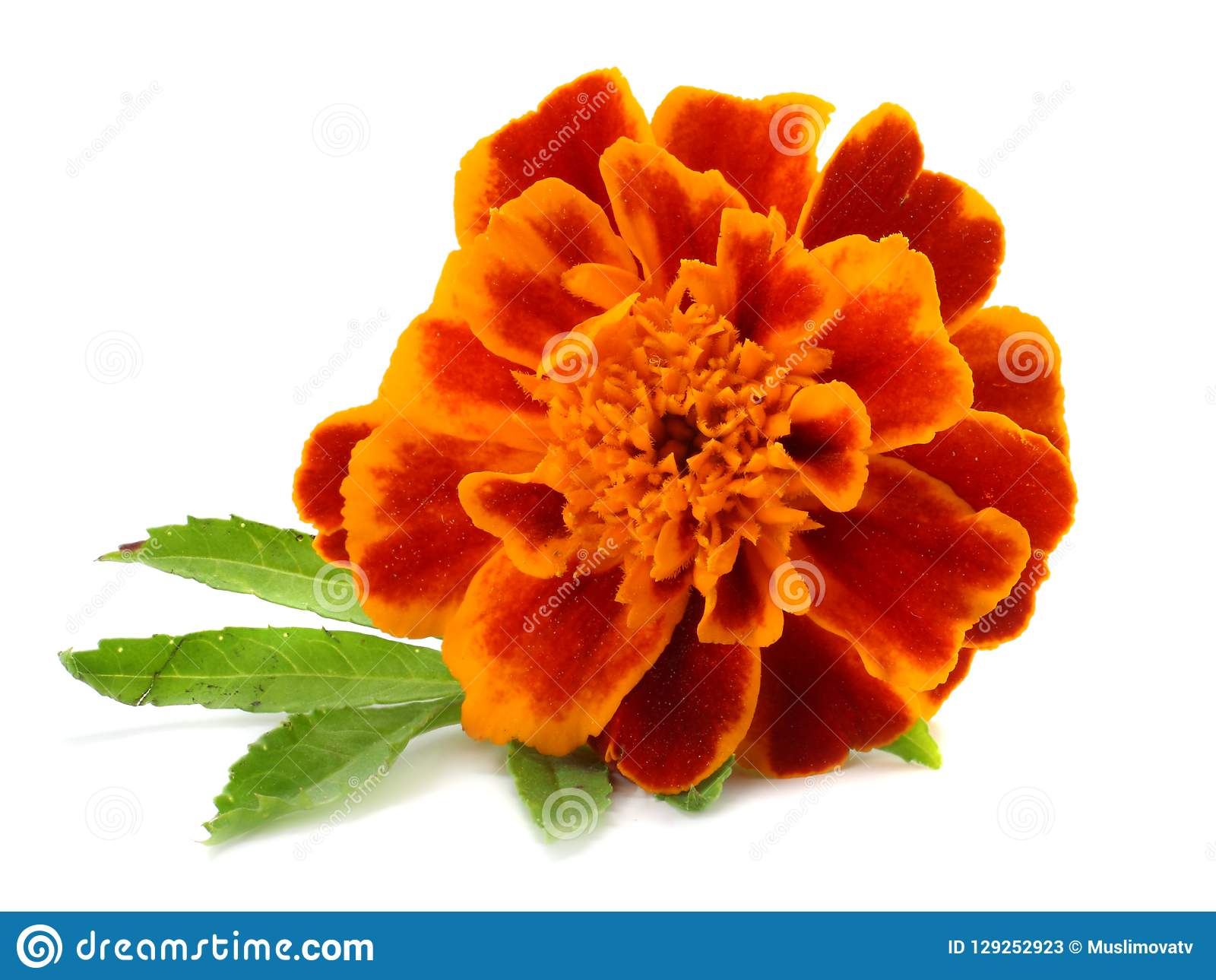 Orange Marigold flower, Tagetes erecta, Mexican marigold, Aztec marigold, African marigold isolated on white background