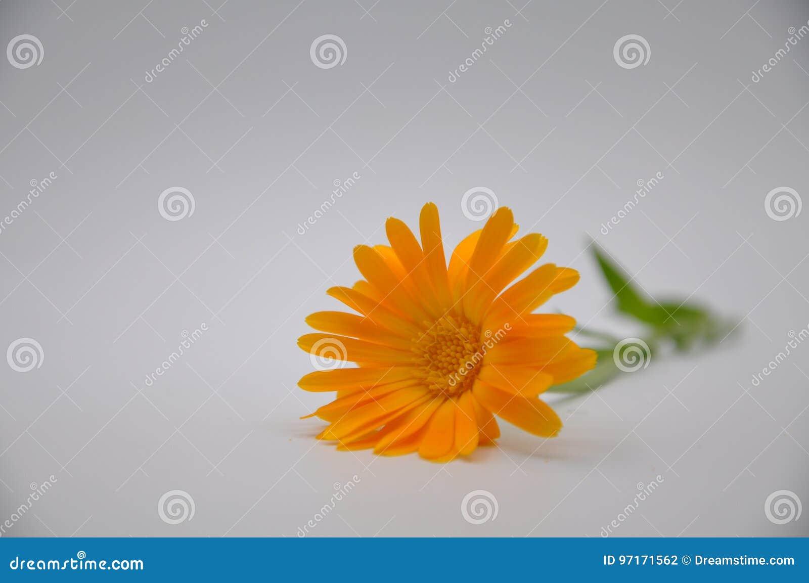 Orange Marigold Flower With White Background Stock Photo Image