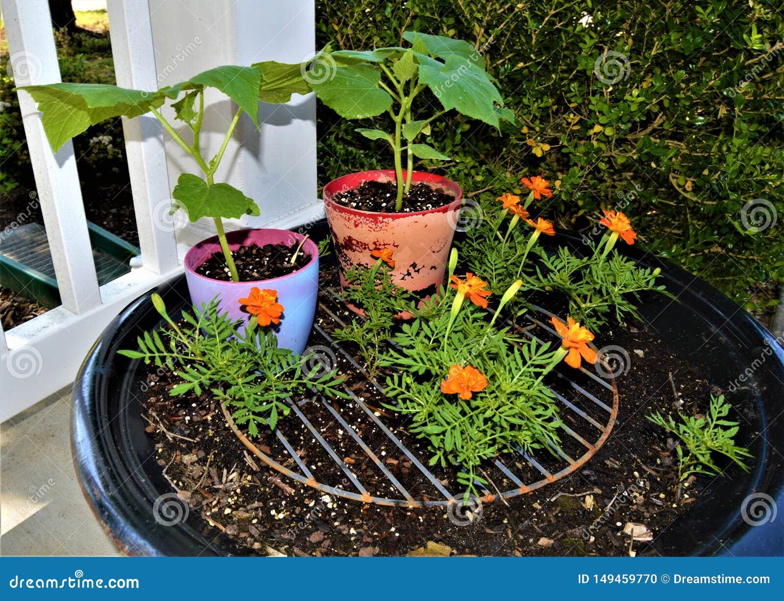 Orange Marigolds with Other Plants
