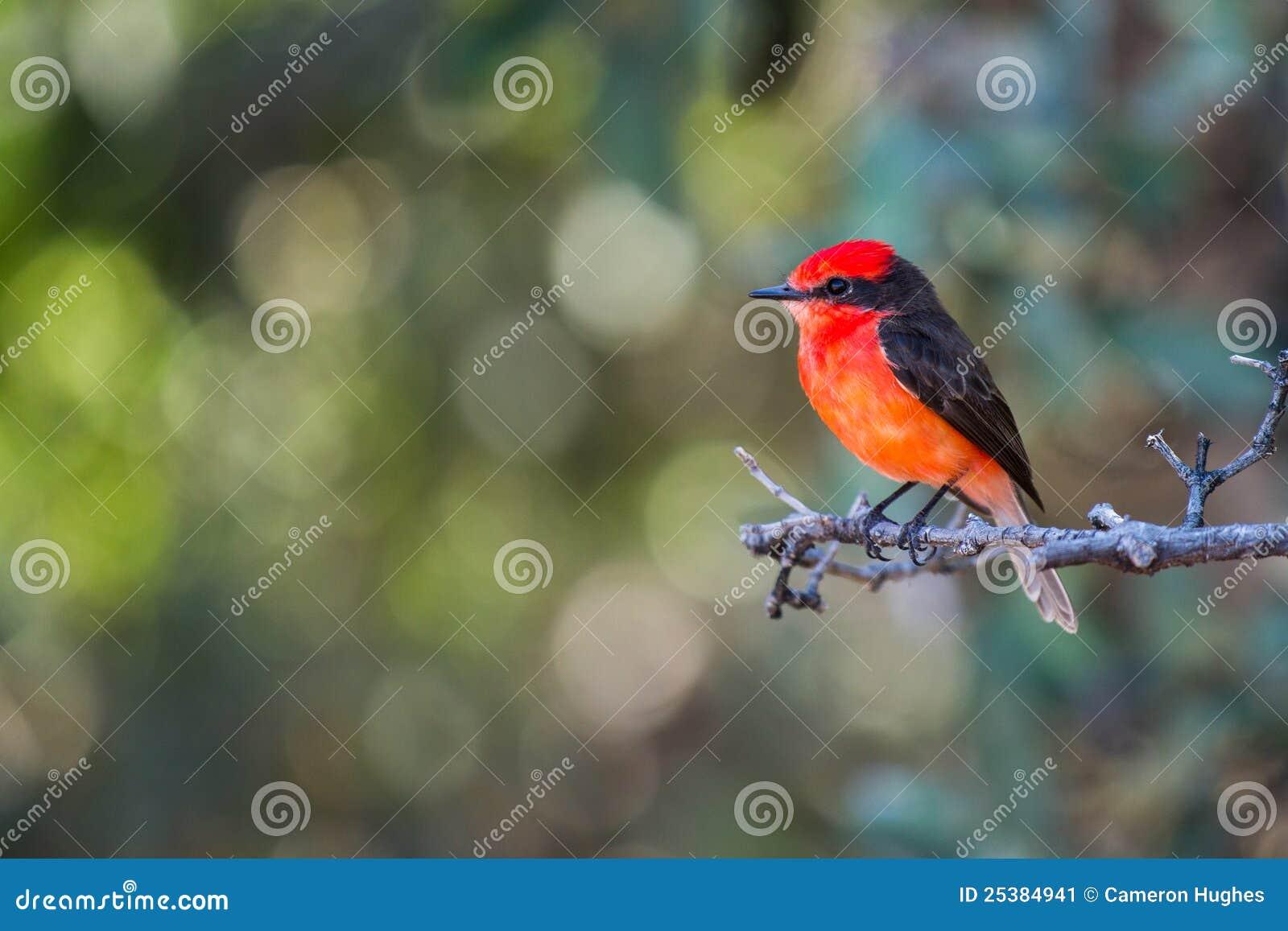 orange mit haube vogel stockbild bild 25384941. Black Bedroom Furniture Sets. Home Design Ideas
