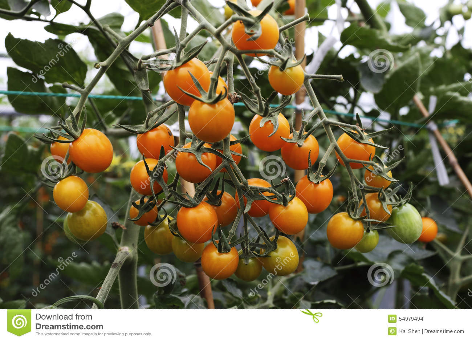 Orange mogna tomater