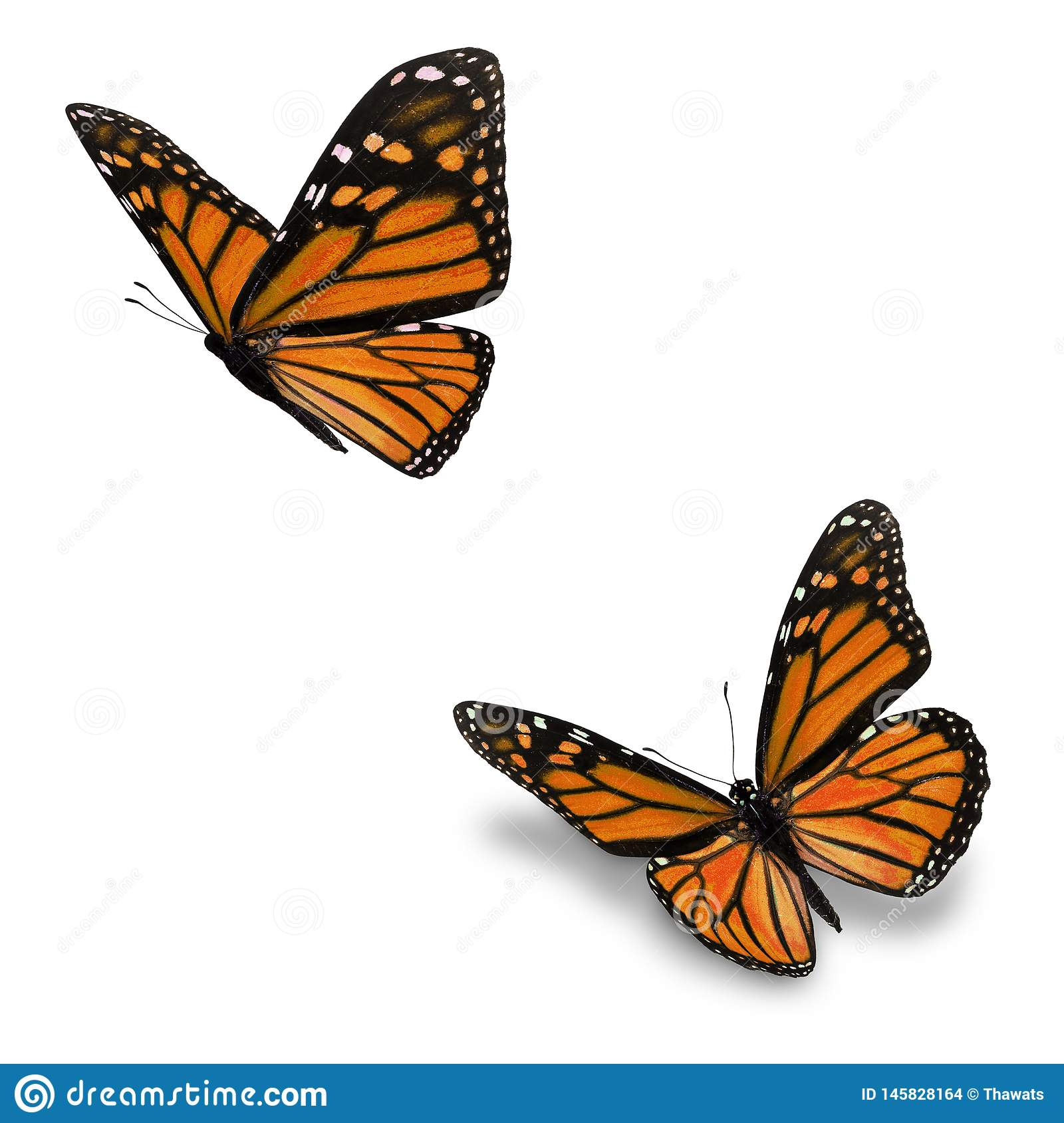 Orange monarch butterfly stock photo. Image of insect ...