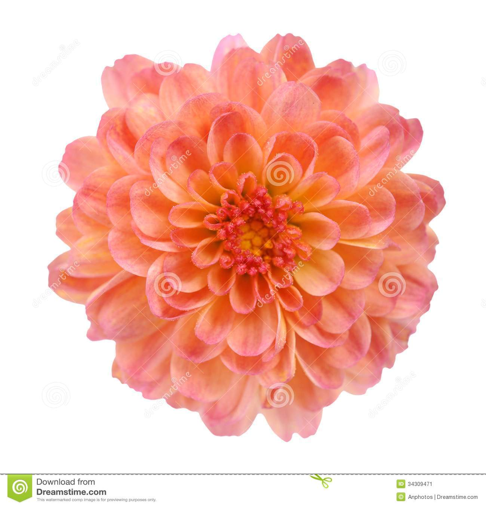 Orange mum flower stock image Image of orange flower
