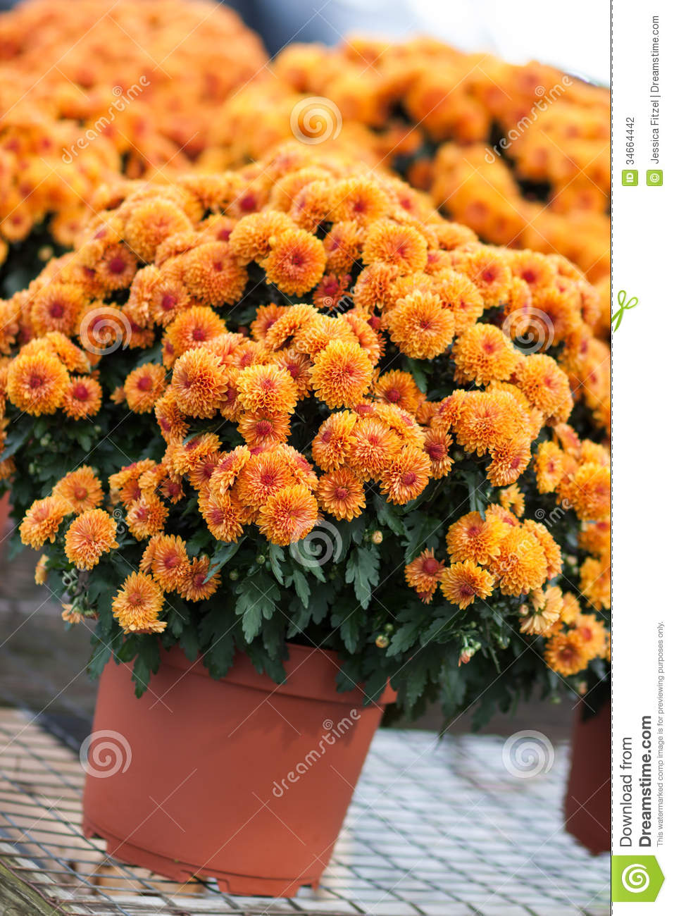 Related keywords suggestions for orange mums flowers - Potted autumn flowers ...