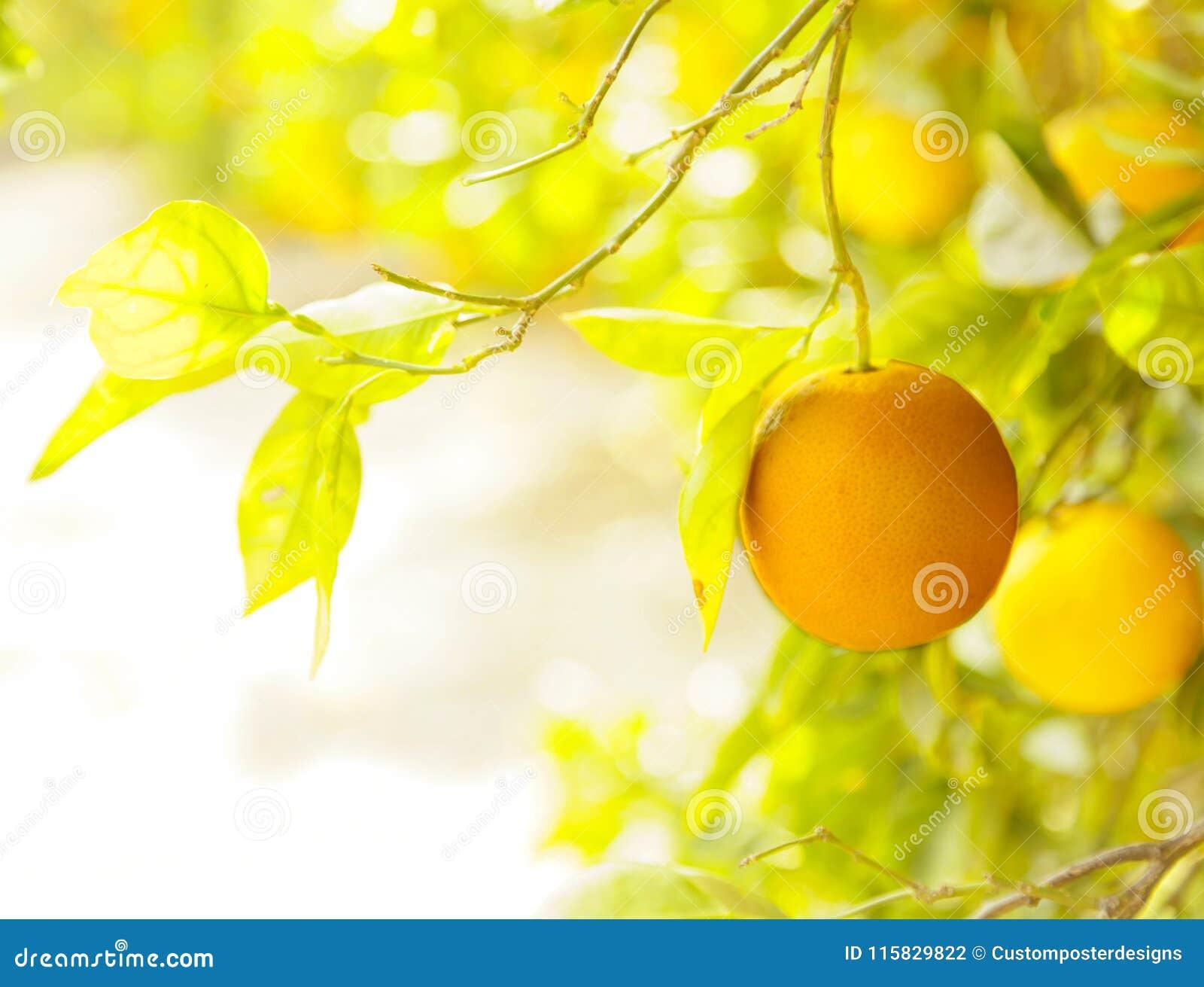 Orange orchard.