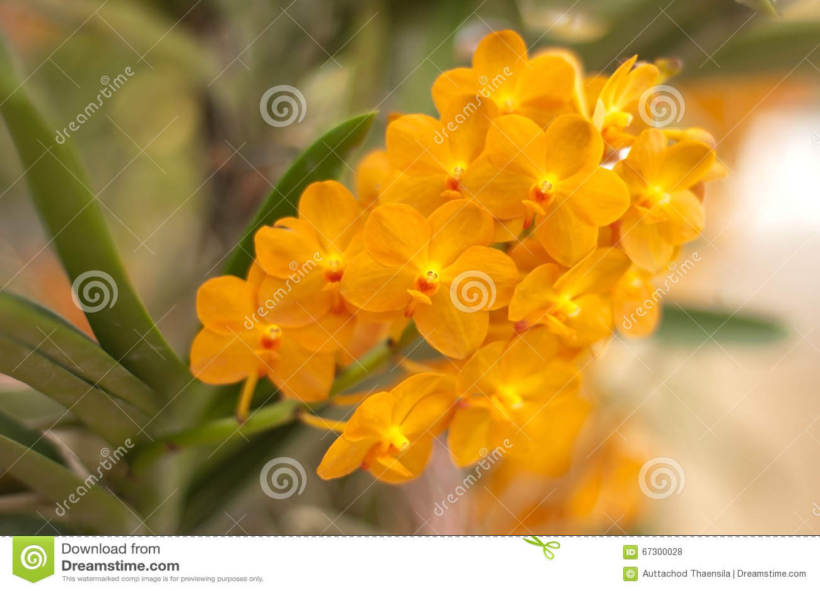 Orange Orchidee