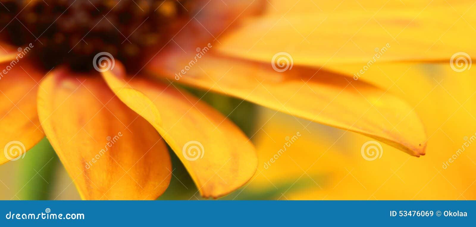 Orange Osteospermum med vattensmå droppar