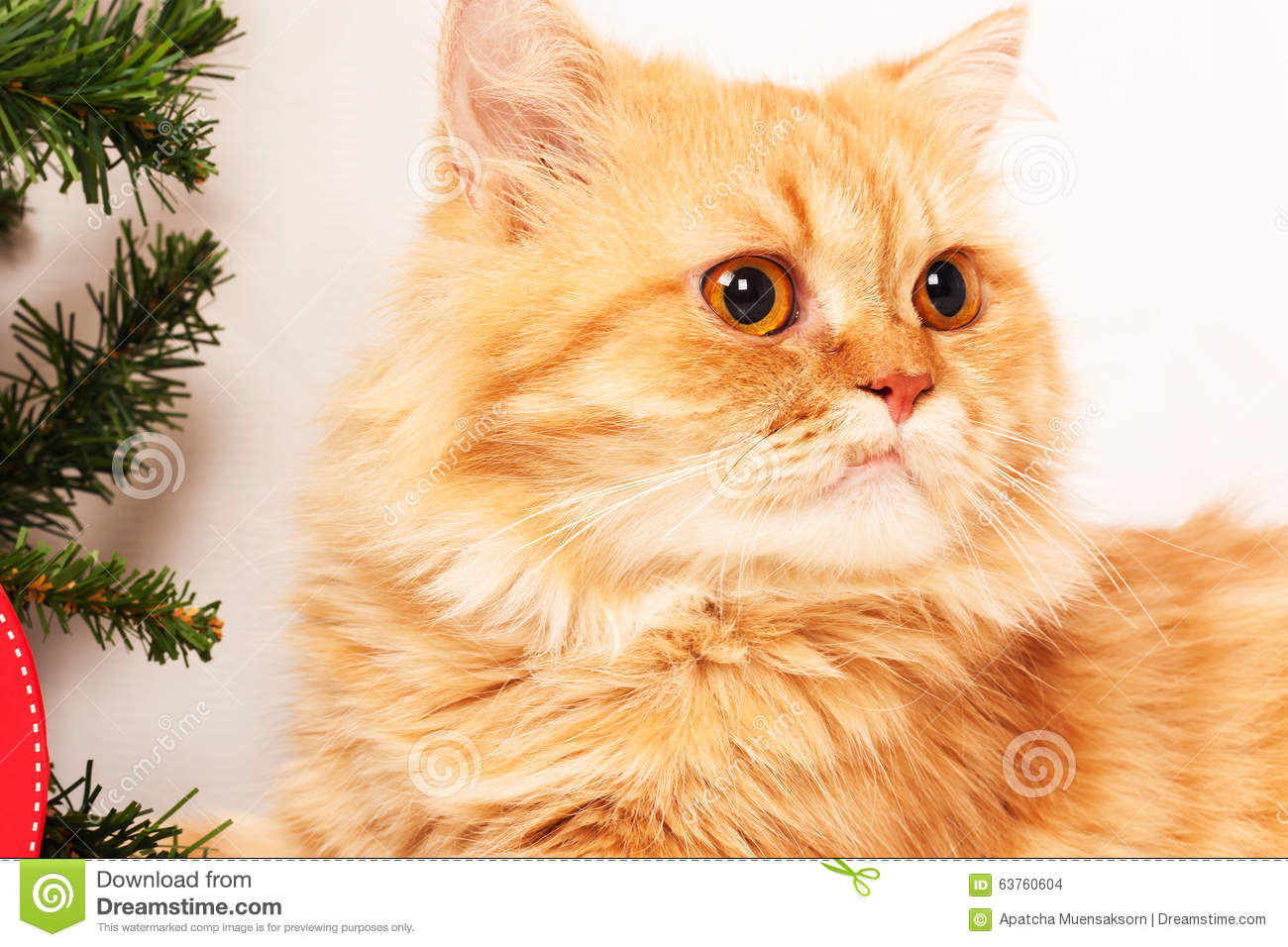 Orange Persian Cat Stock Image