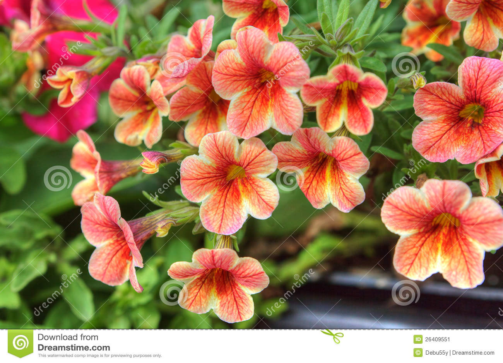 Orange Petunia Flowers Stock Image Image Of Flowering