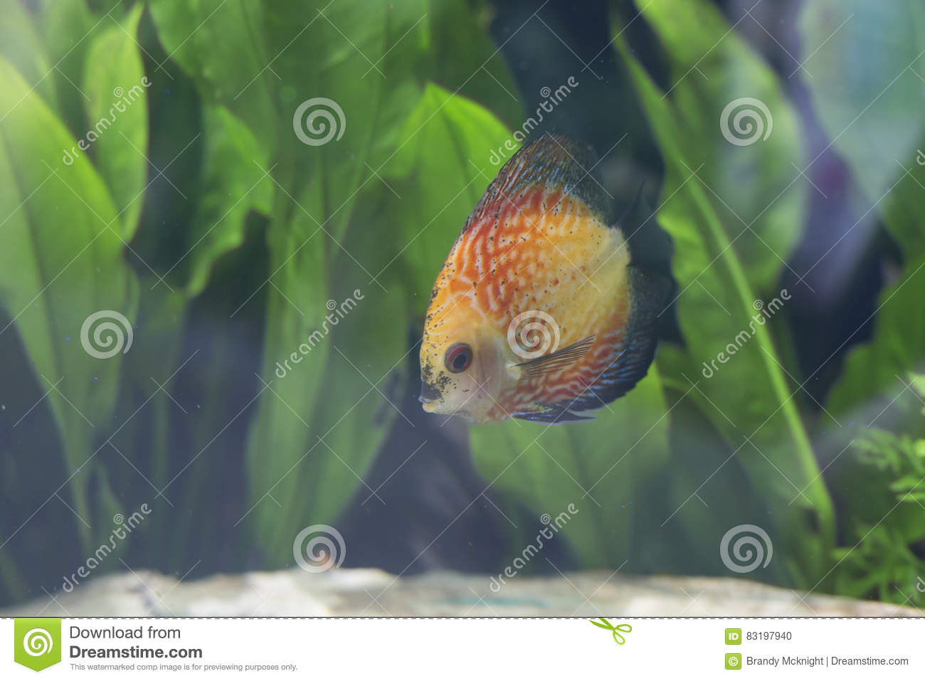 Orange Pigeon Blood Discus Fish Stock Photo - Image of beauty, hobby ...