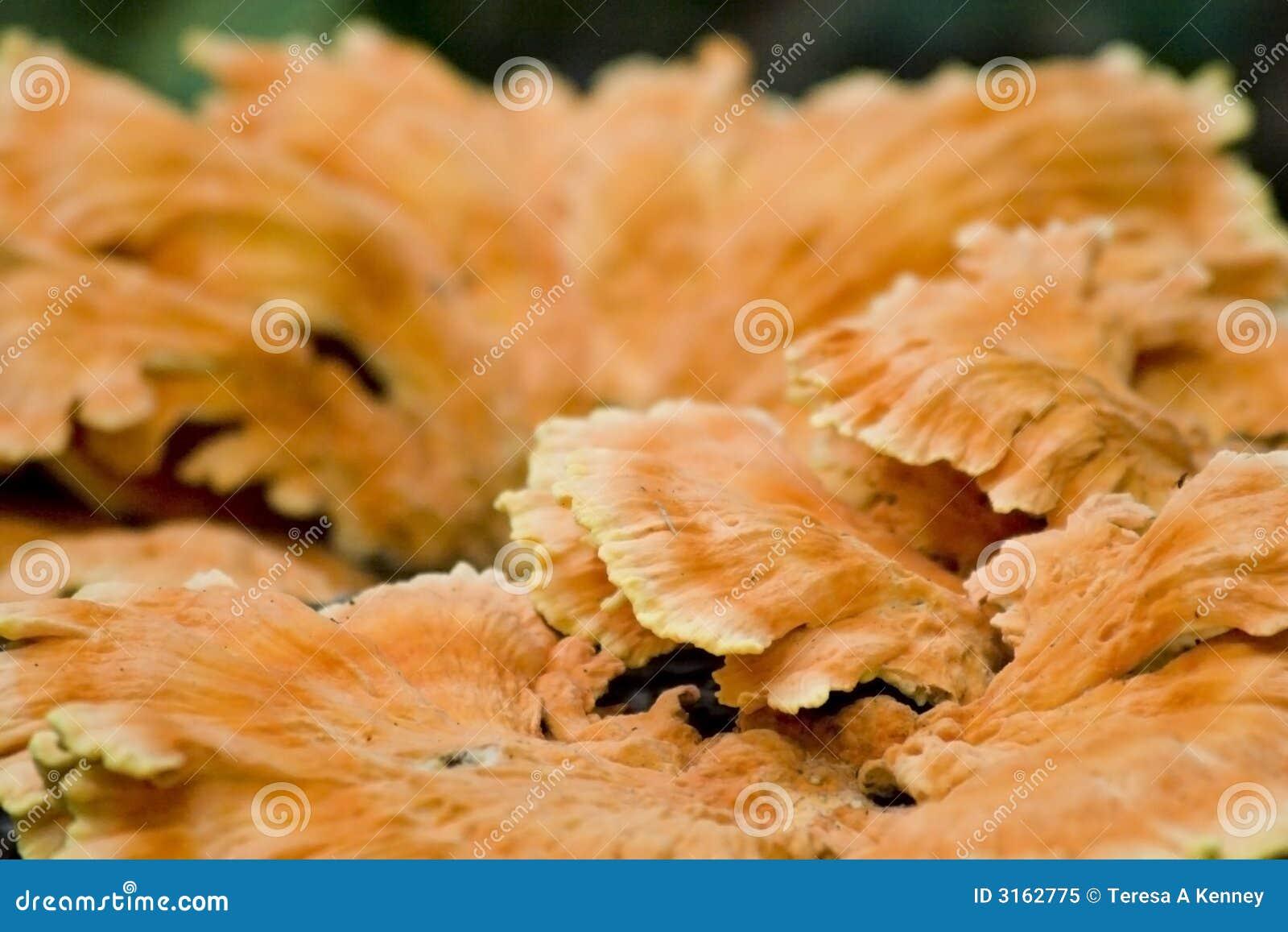 Orange Pilz