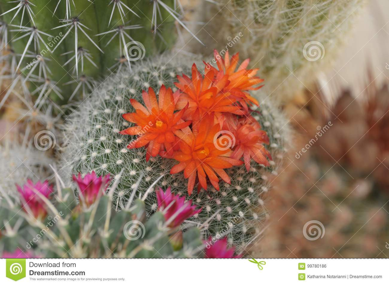 Orange And Pink Cactus Flower And Flower Buds Stock Photo Image Of