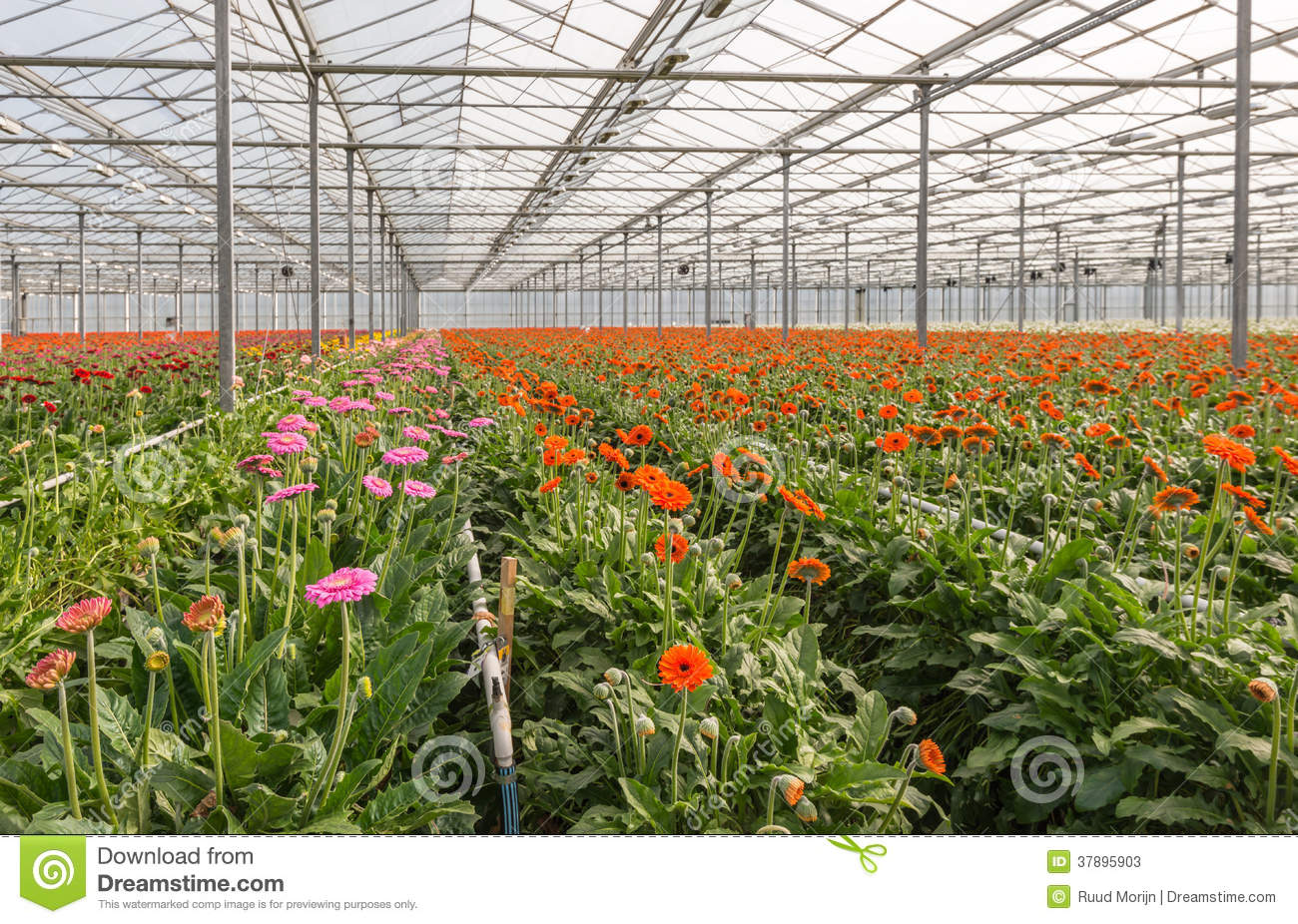 Gerbera Flower Farming Information Guide Agri Farming