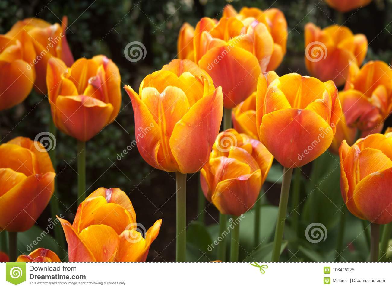 Orange And Pink Tulips Stock Image Image Of Park Colorful 106428225