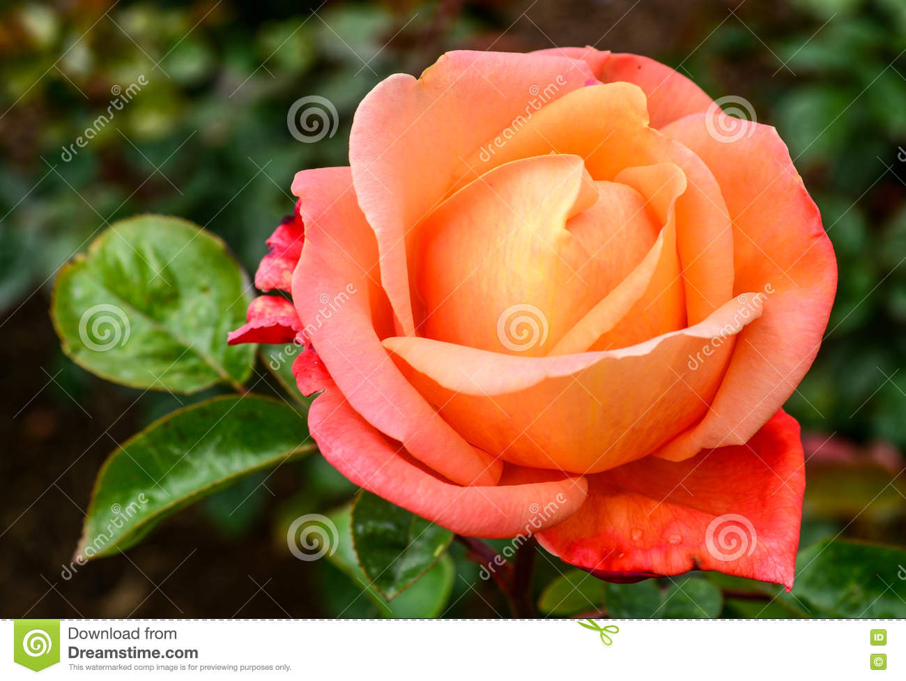 Orange Pinkish Rose Flowers In Spring Stock Photo Image Of Bunch