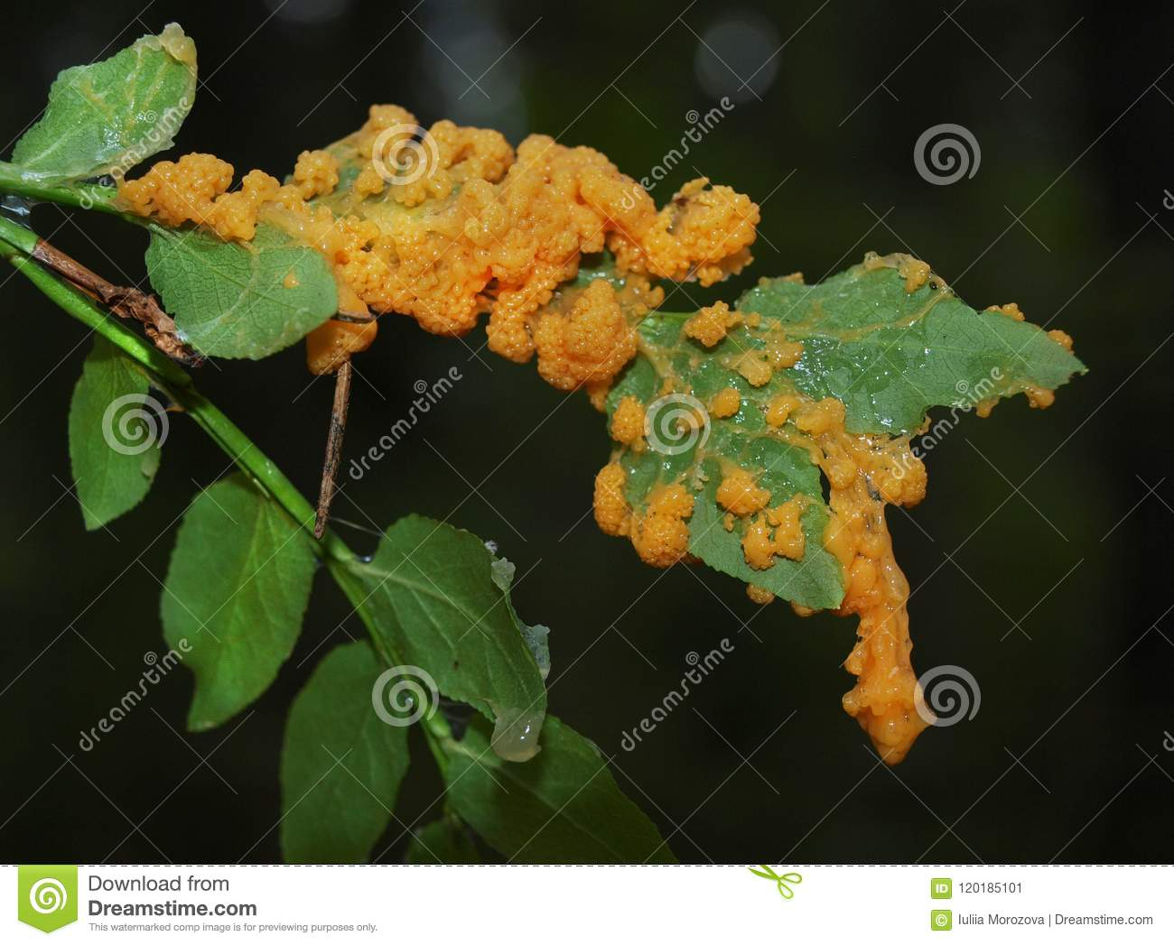 An orange plasmodium of a slime mold on a grass