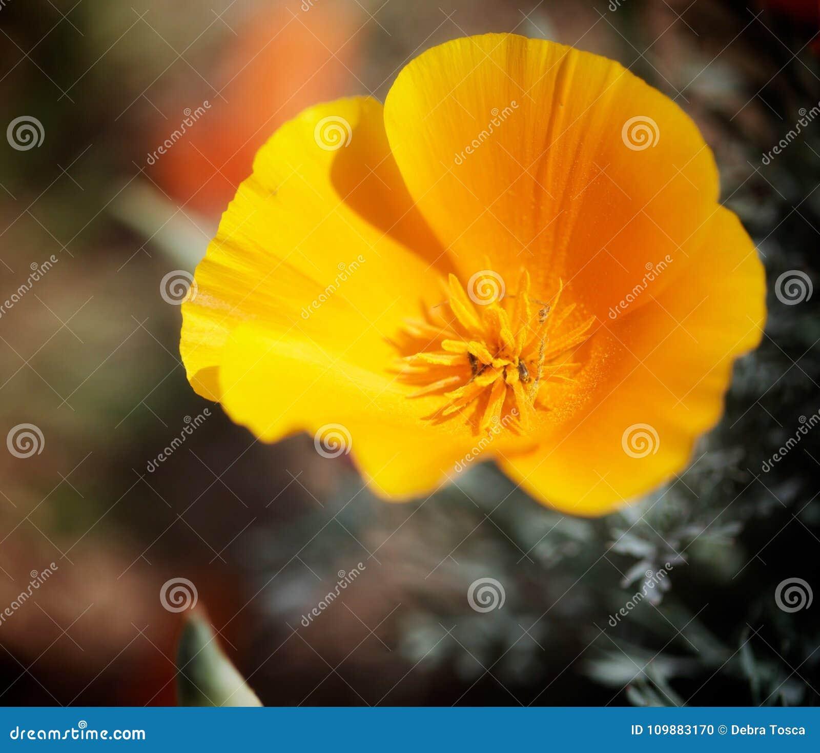 Orange poppy stock photo image of bright flower velvet 109883170 beautiful bright orange velvet like poppy flower with open mightylinksfo