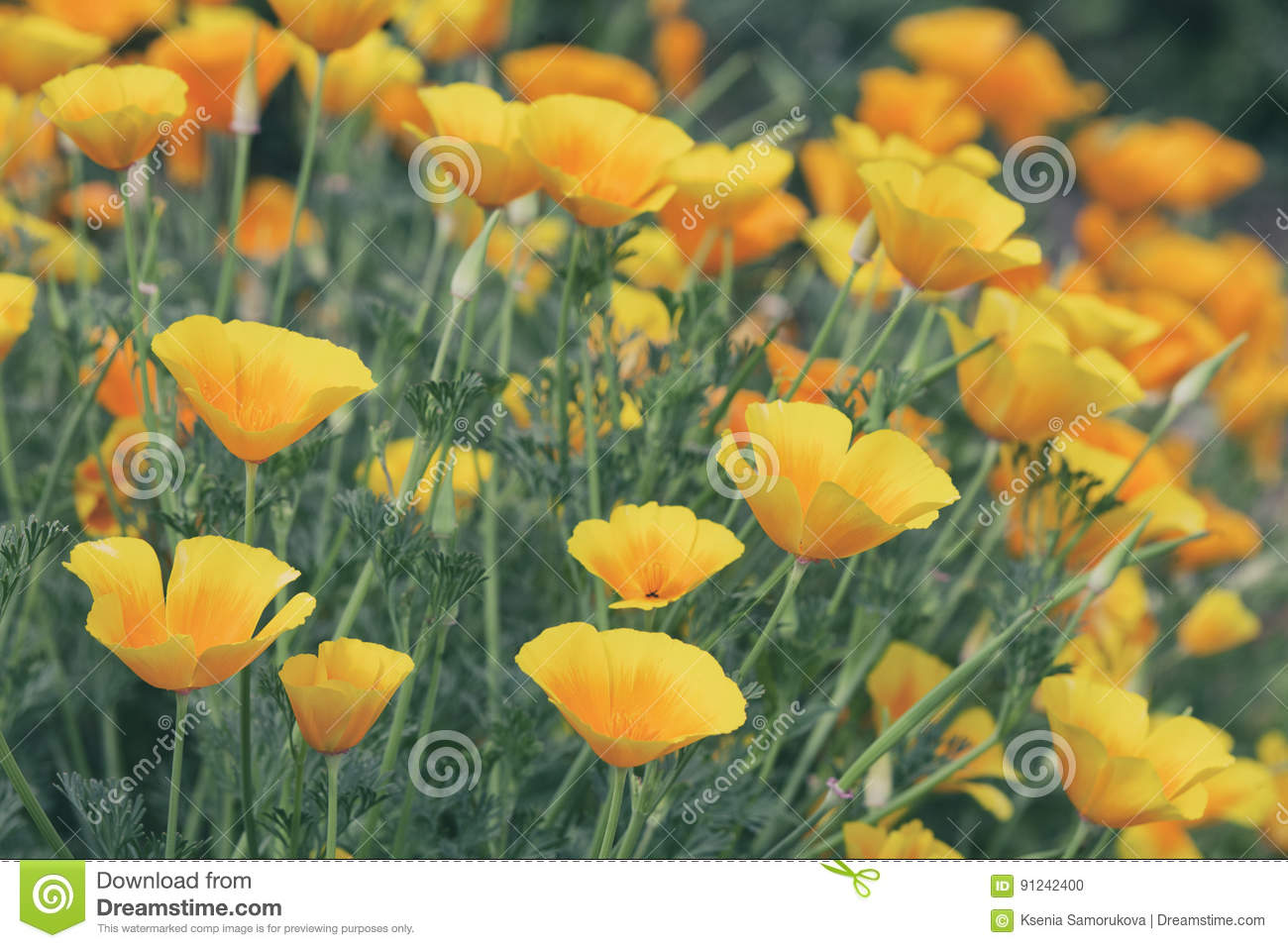 Orange Poppy Flowers Nature Background Stock Photo Image Of