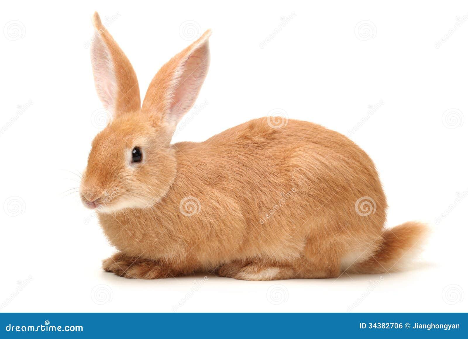 orange rabbit royalty free stock image   image 34382706