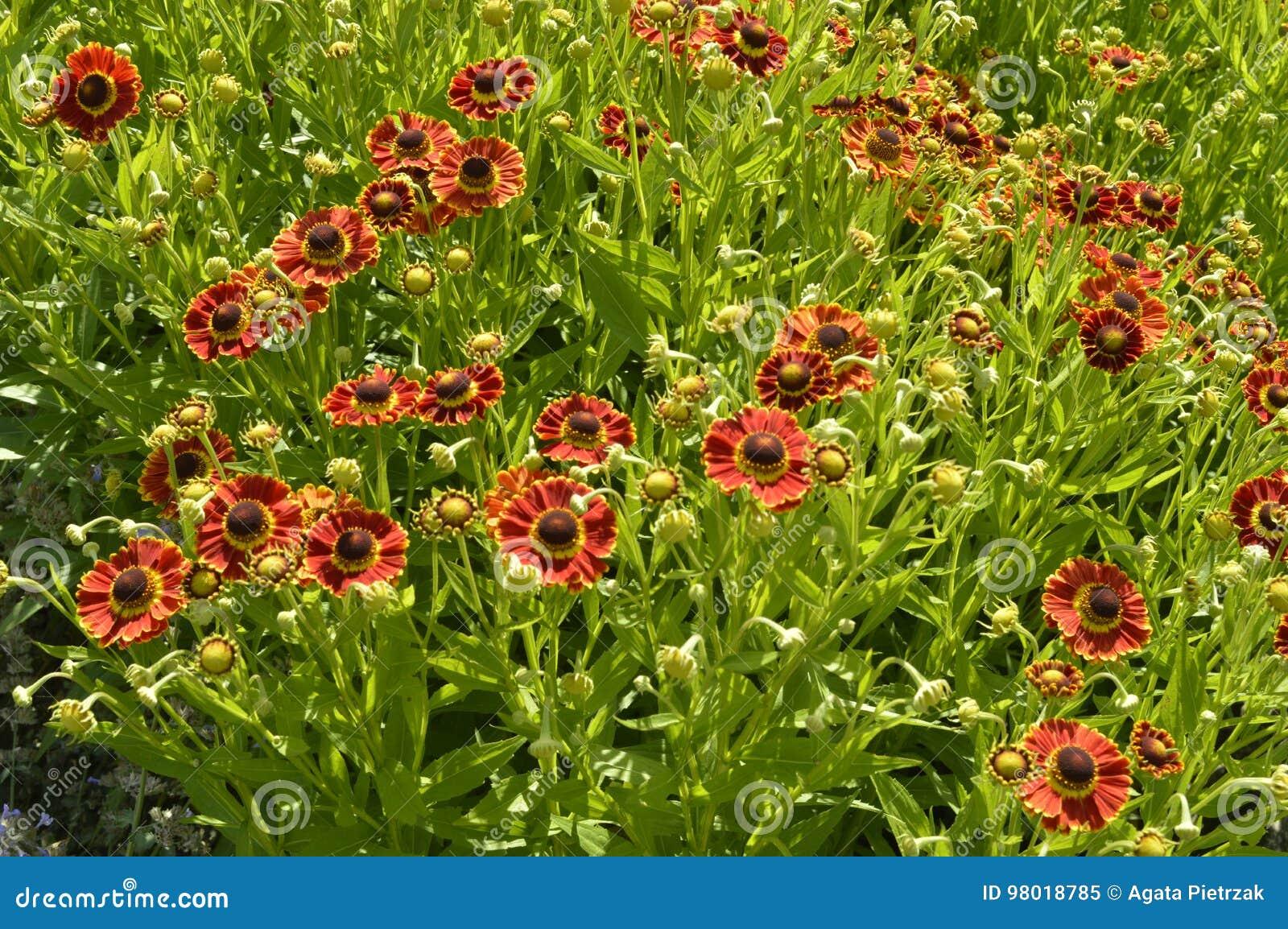 Orange and red daisies stock image image of daisy coneflower beautiful tall flowers like orange and red daisies izmirmasajfo