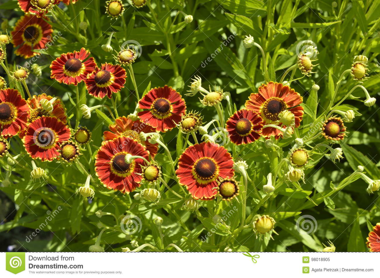 Orange And Red Daisies Stock Image Image Of Composite 98018905