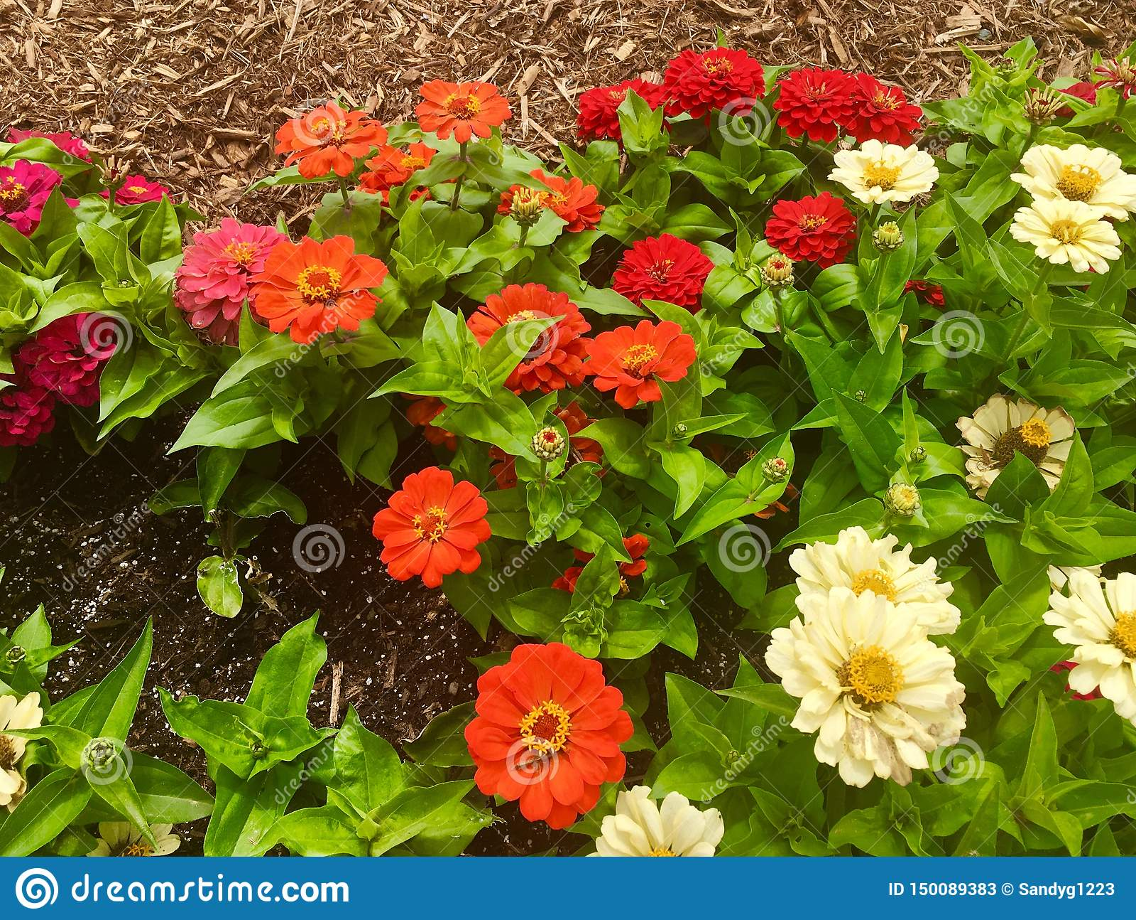 Orange, Red, and White Zinnias