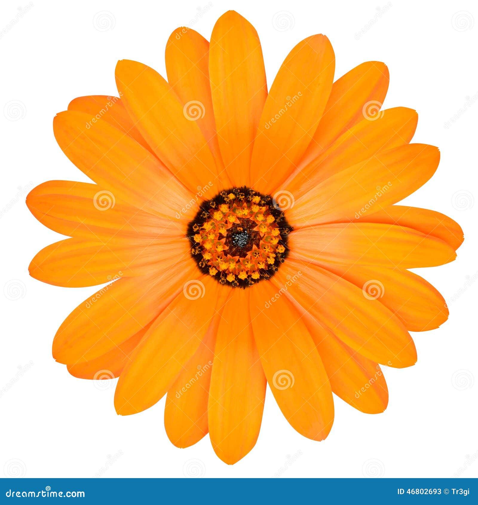 Orange RingelblumeBlume In Voller Blüte Lokalisiert