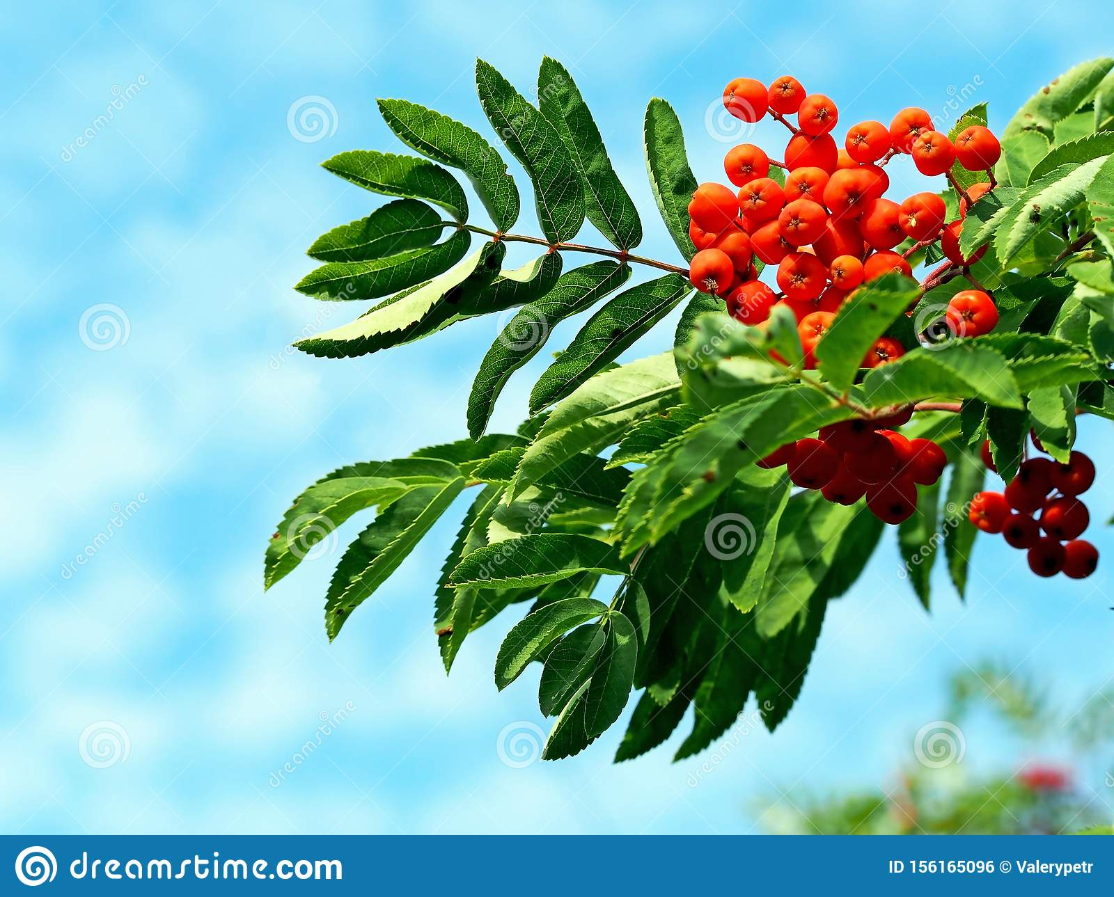 Orange ripe mountain ash with green leaves against the blue sky