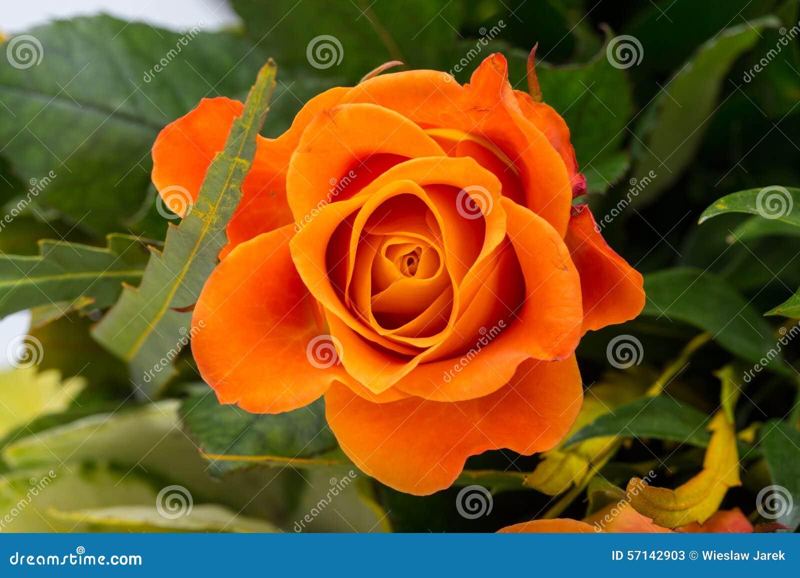 The orange rose