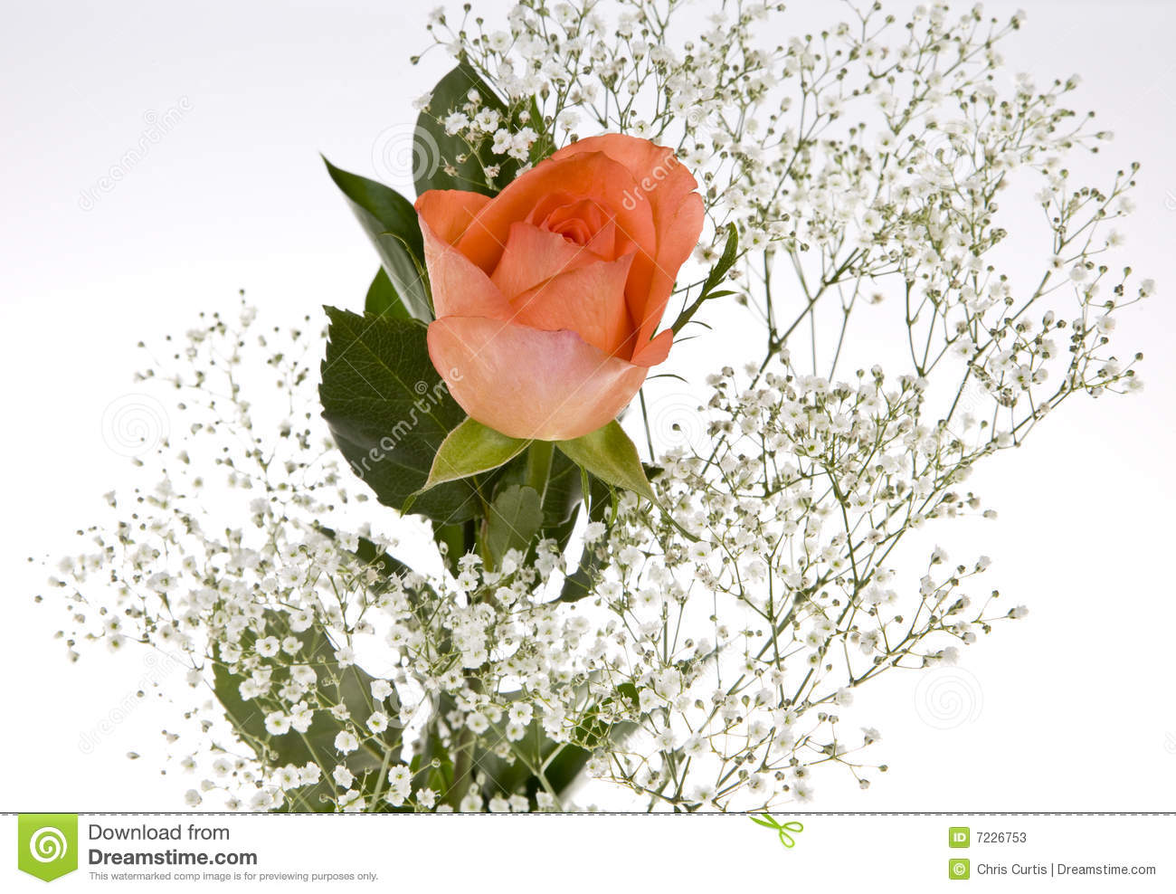 197ea6f53a Orange Rose With Baby s Breath Stock Image - Image of beautiful ...