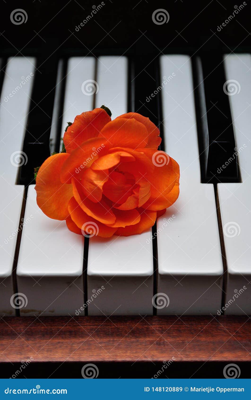 An orange rose displayed on top of piano keys