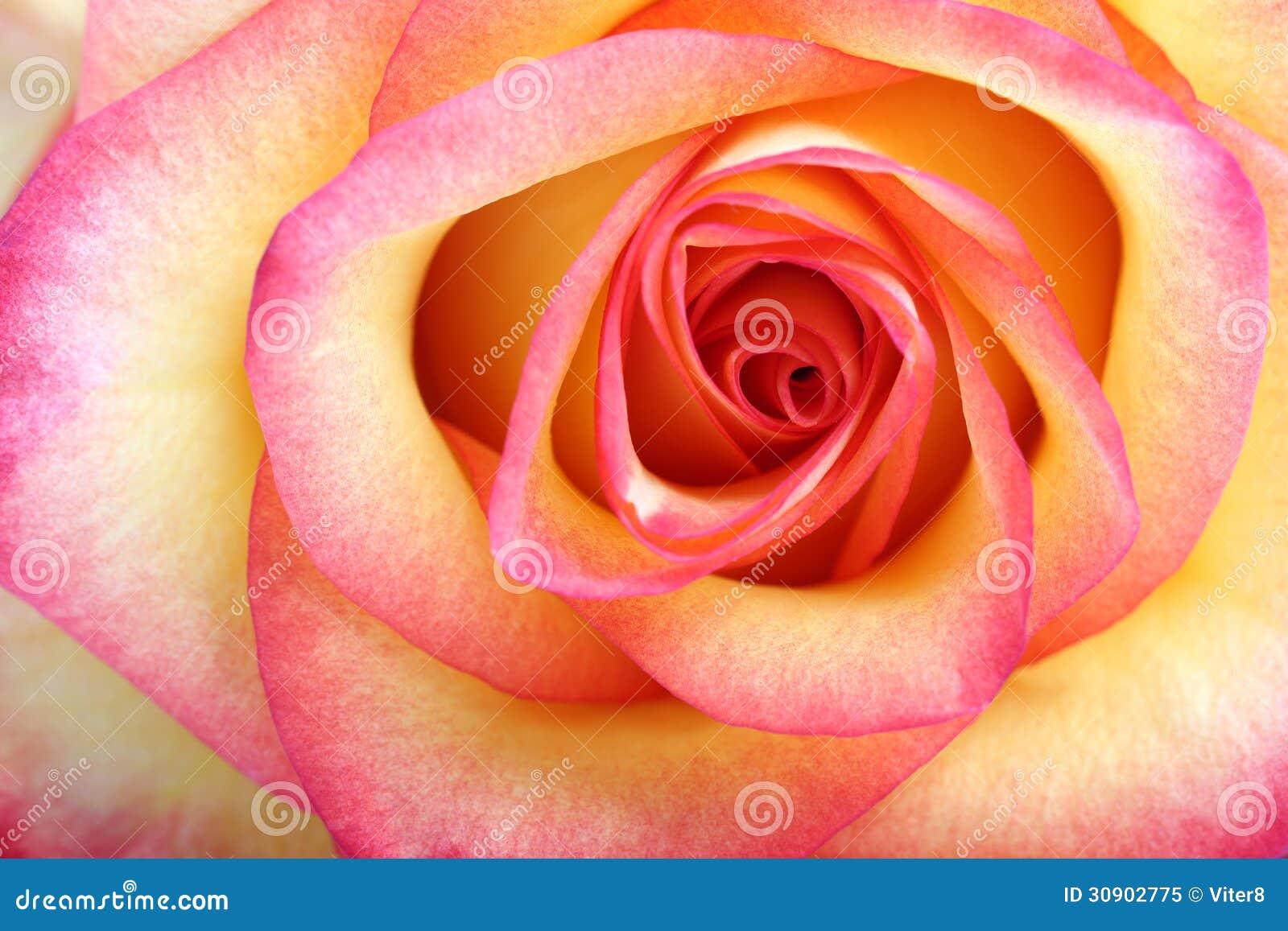 Orange rose. Macro