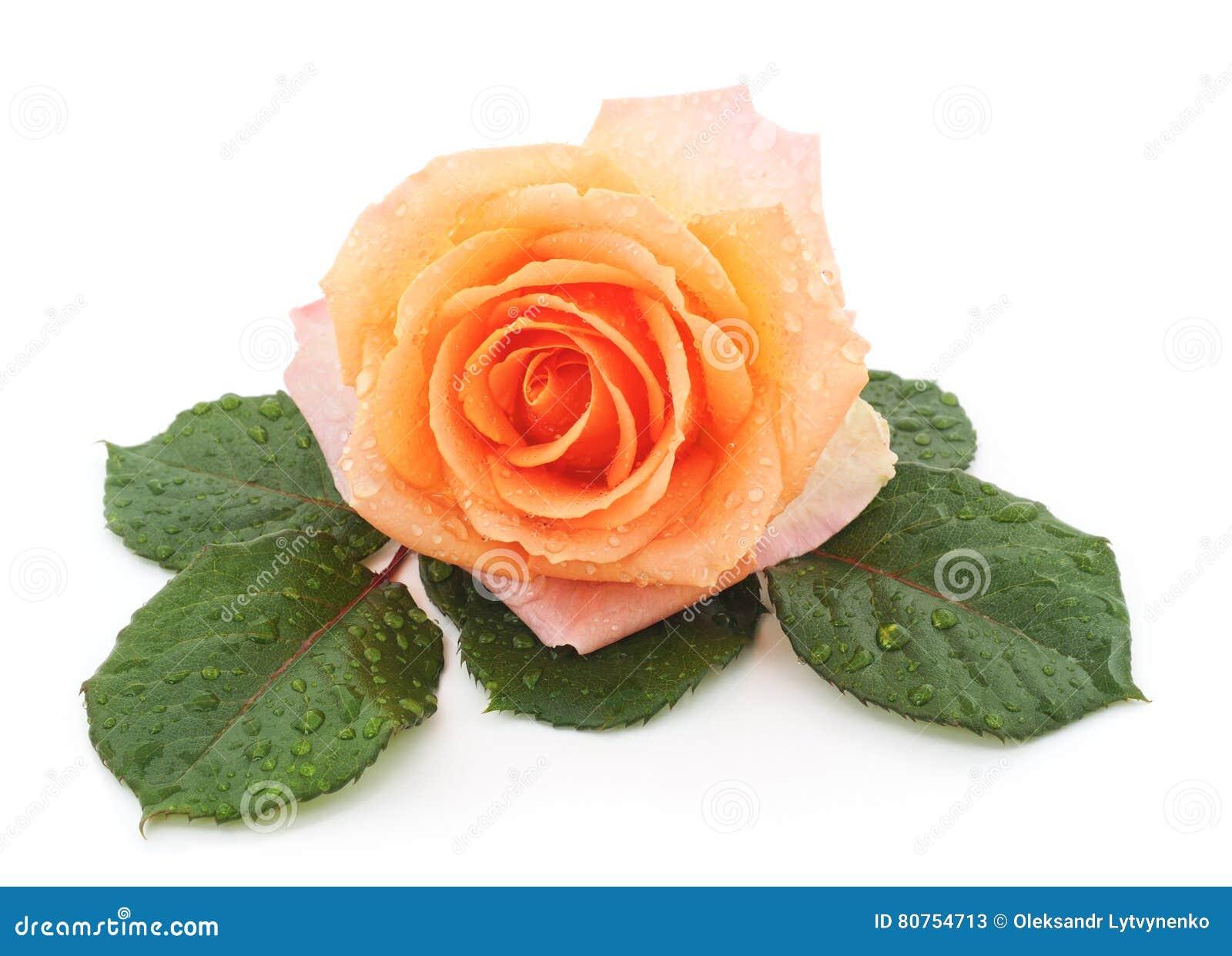Orange rose after a rain.