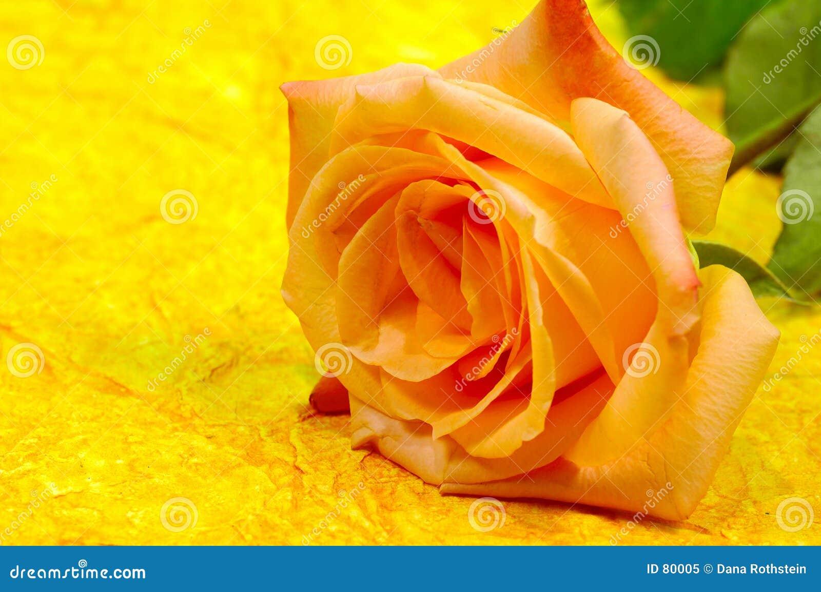orange rosen hintergrund stockbild bild von stieg floral 80005. Black Bedroom Furniture Sets. Home Design Ideas