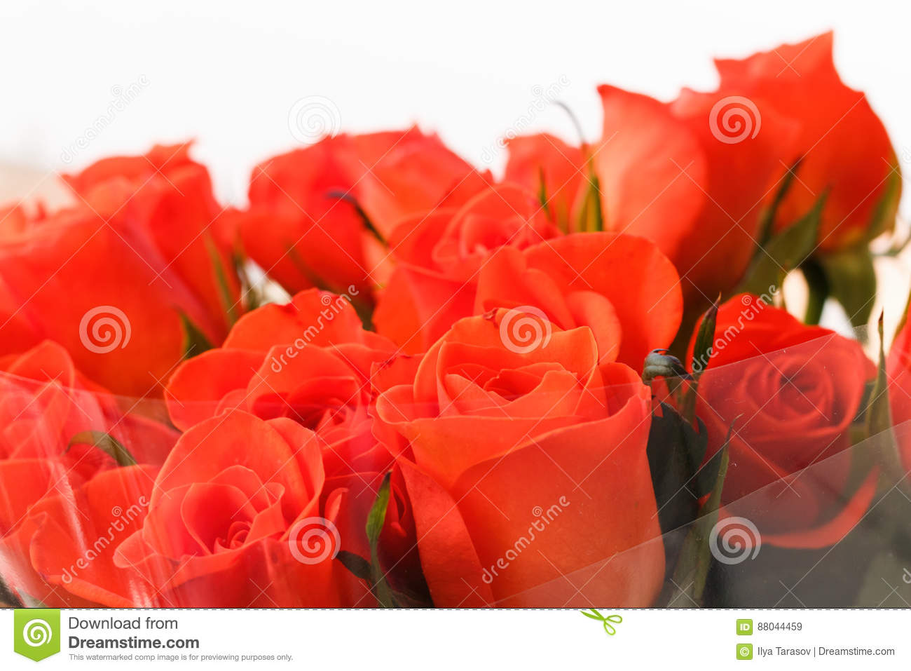 Orange Roses Wrapped In Transparent Clear Cellophane Stock Image