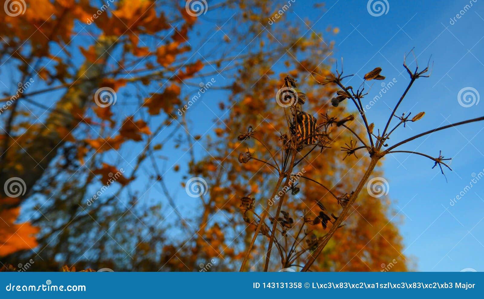 Orange schwarzer gestreifter Käfer im Herbst auf der Donau-Küste