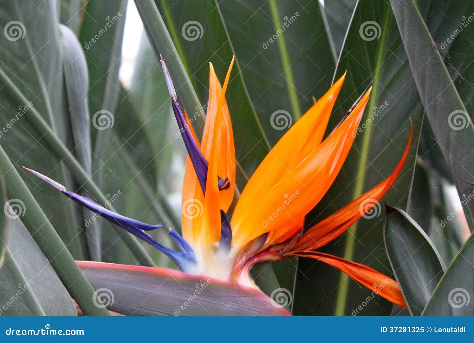Orange Sharp Flower Strelitzia Royalty Free Stock Photo ...
