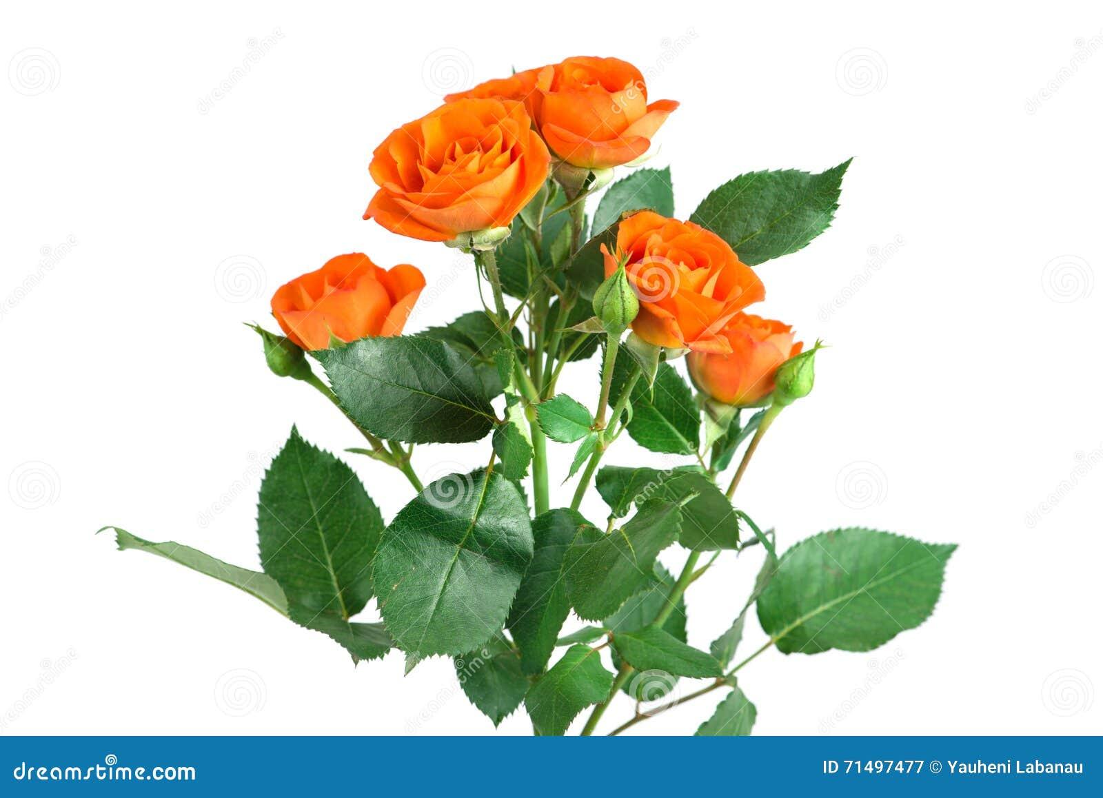Orange shrub rose bush isolated on white