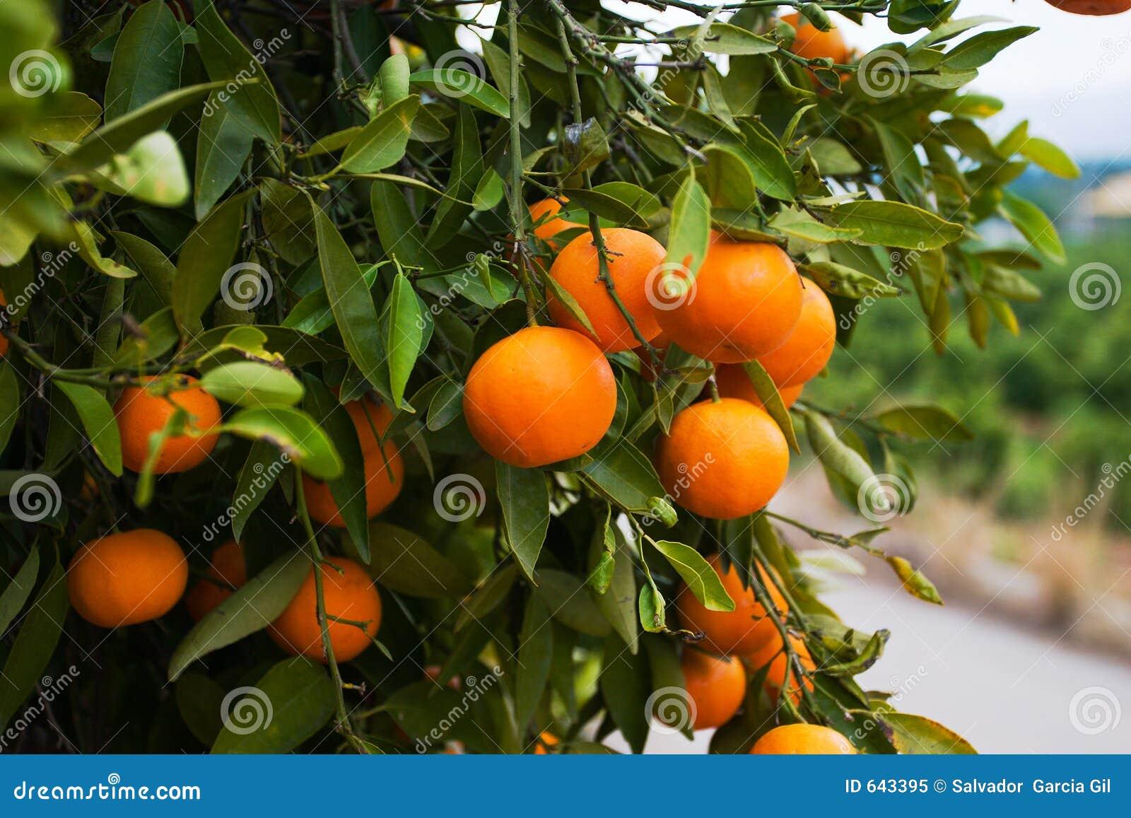 Orange spain tree