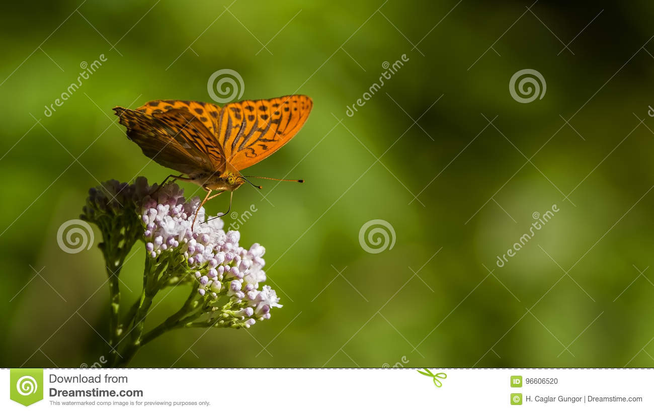 Orange Spotted Butterfly