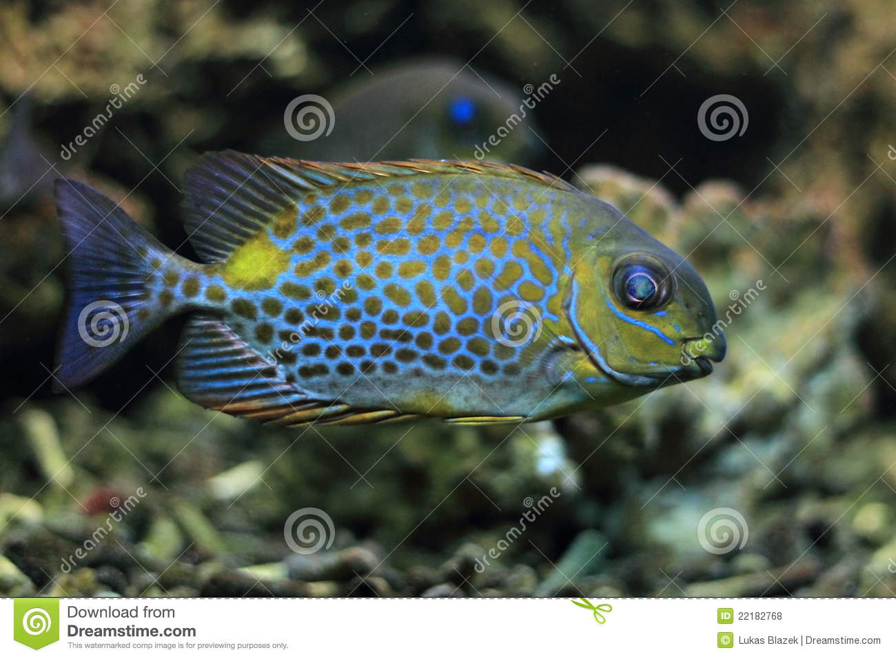 Orange spotted foxface rabbitfish stock photo image of for Fox face fish
