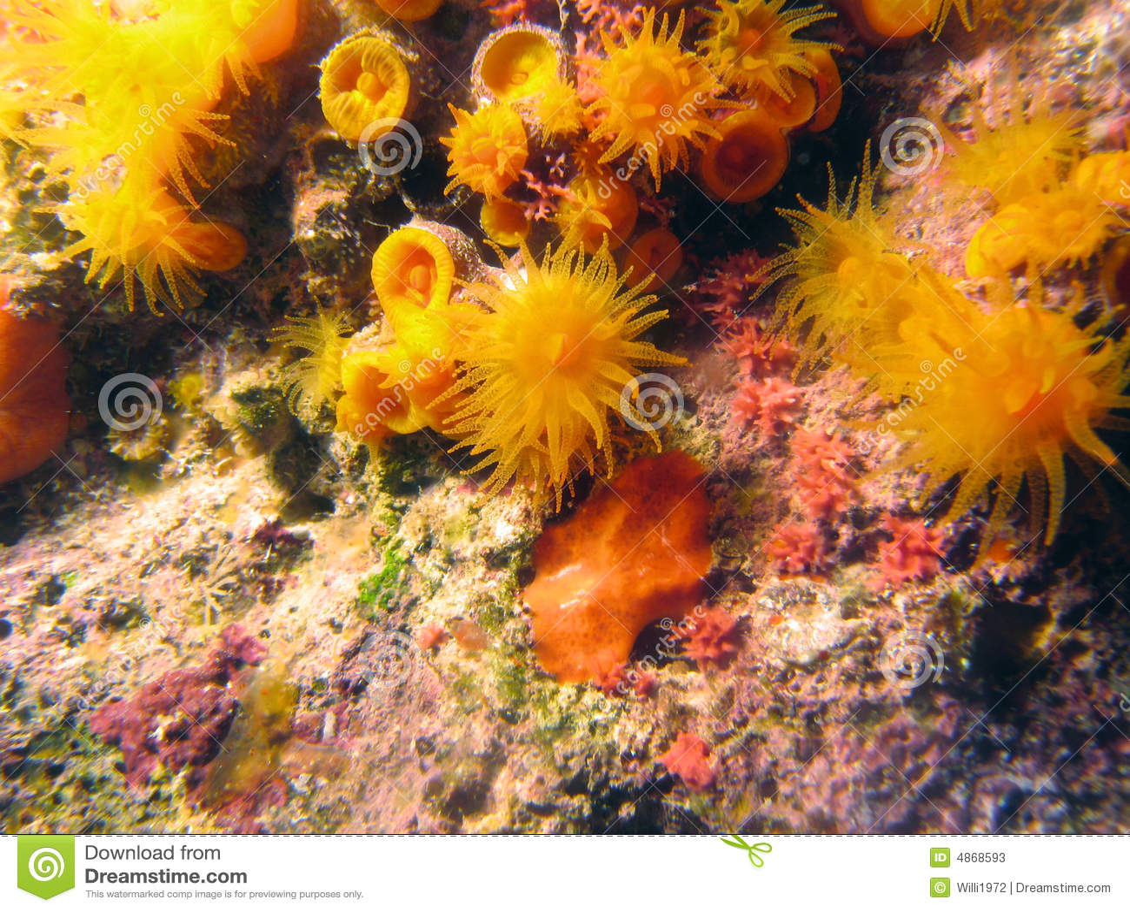 Orange star coral